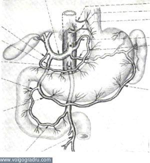 Функциональная морфология желудка